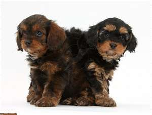 Black Tan Cavapoos Black Puppy Cavapoo Puppies Cavapoo
