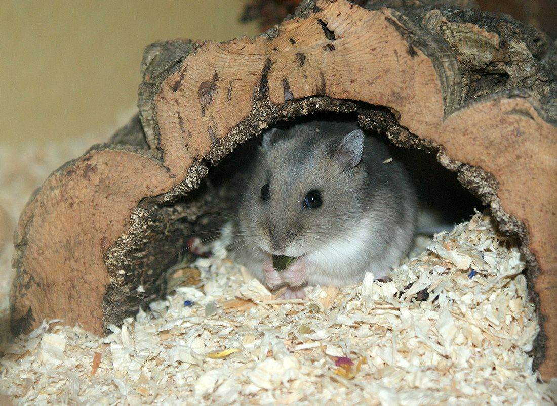 hamster eating inside of his food bowl 20 cute pictures of