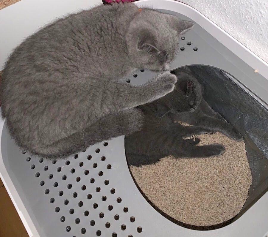 Pin Auf Bkh Katze In Der Familie