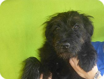 3 27 14 Oviedo Fl Great Pyrenees Giant Schnauzer Mix Meet