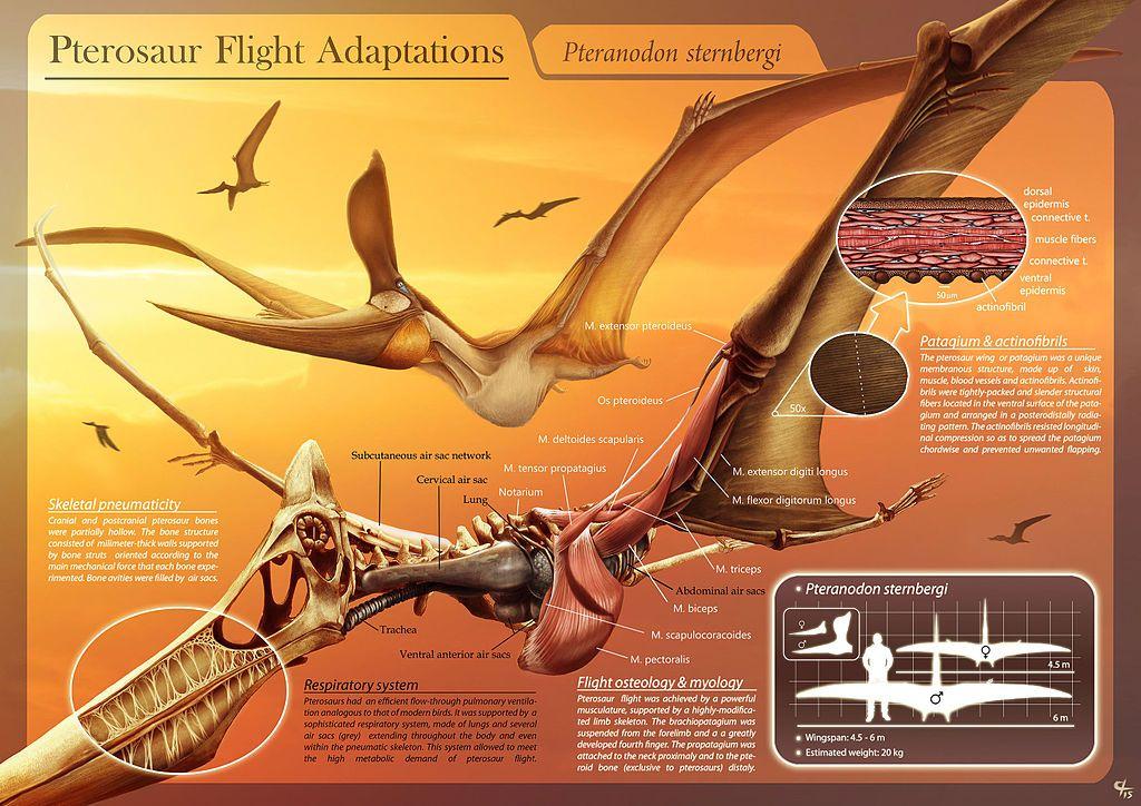 Pterosaur Flight Adaptations - Pteranodon sternbergi - Hugo