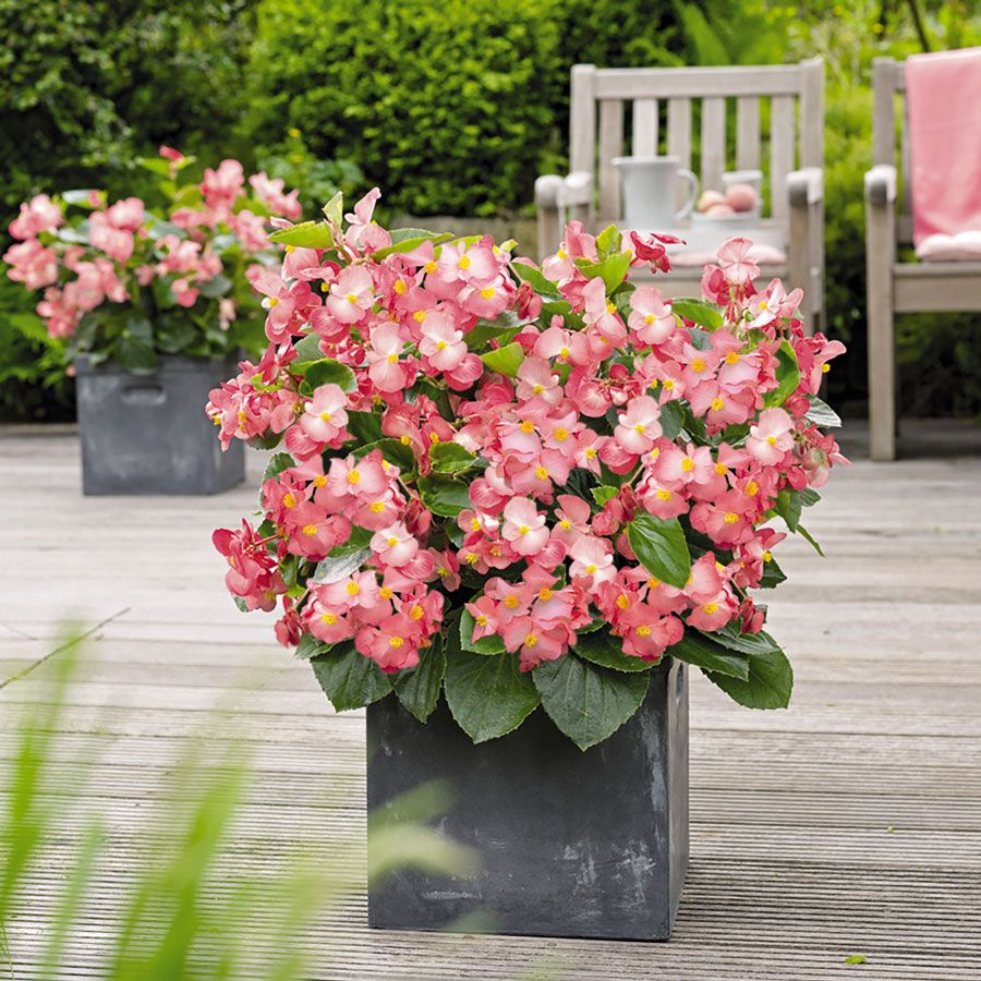 Rare Pink Begonia Seeds Charming Chinese Flower Seeds Bonsai Plants For Garden 50 Particles Lot B035 Affiliate Flower Seeds Bonsai Plants Chinese Flowers