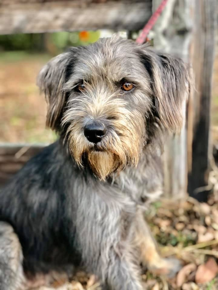 Dog For Adoption Lulu An Old English Sheepdog Terrier Mix In University Place Wa Petfinder Old English Sheepdog English Sheepdog Dog Adoption