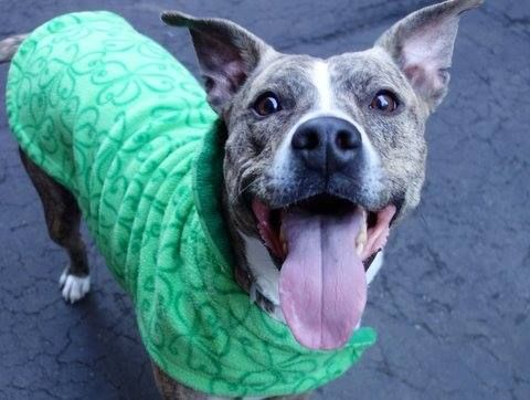 SAFE - 04/08/15 --- Manhattan Center   DIAMOND - A1031765   FEMALE, BL BRINDLE, PIT BULL MIX, 2 yrs STRAY - STRAY WAIT, NO HOLD Reason NO ANSWER  Intake condition UNSPECIFIE Intake Date 03/30/2015 https://www.facebook.com/photo.php?fbid=986489764697236