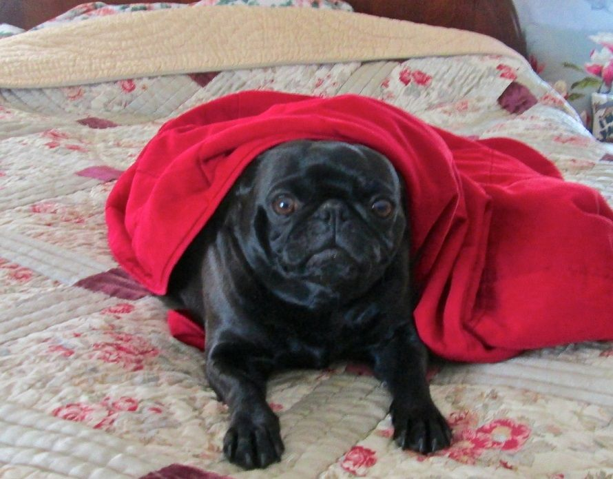 Ty Ruby Pugsly The Black Pug Rescue Dog S Dreams Come True News
