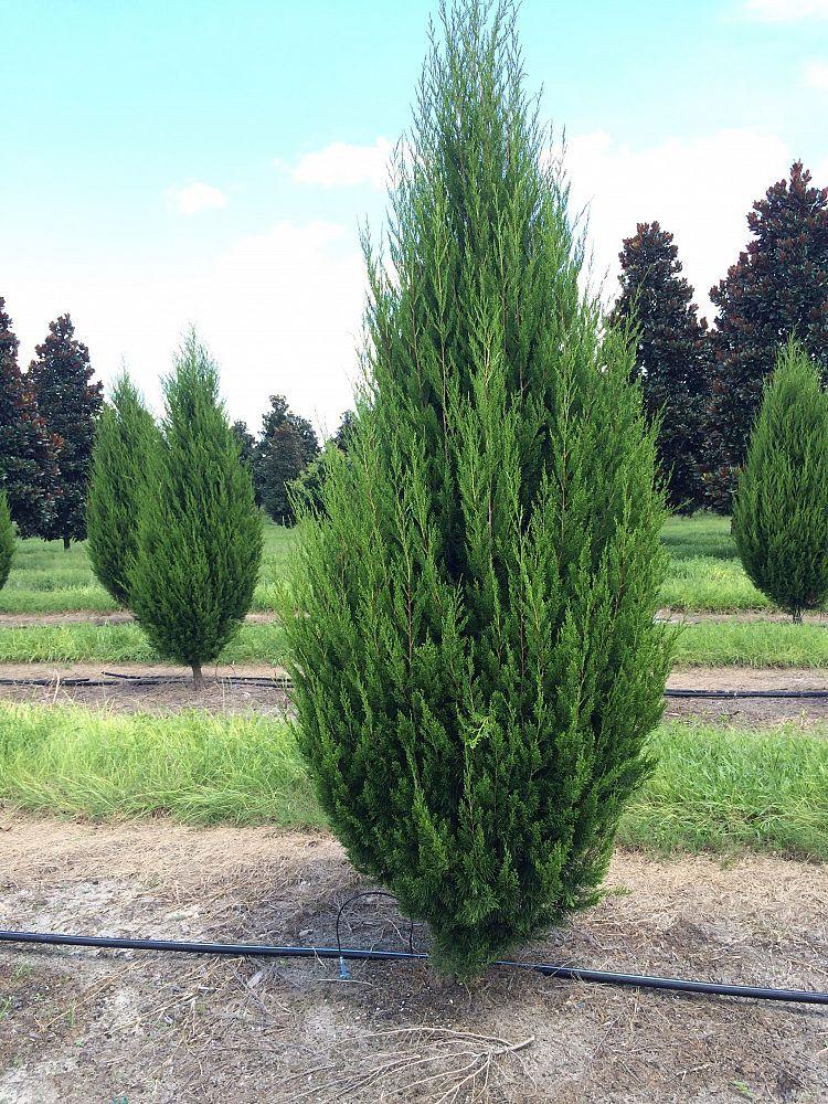 Juniperus virginiana 'Brodie', Eastern Red Cedar.   Barn ...