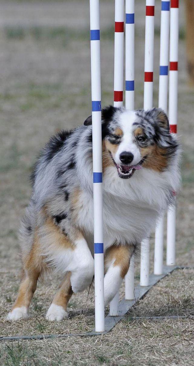 Pin By Deborah Warthen Sturgeon On Australian Shepherds Australian Shepherd Aussie Dogs Aussie Shepherd