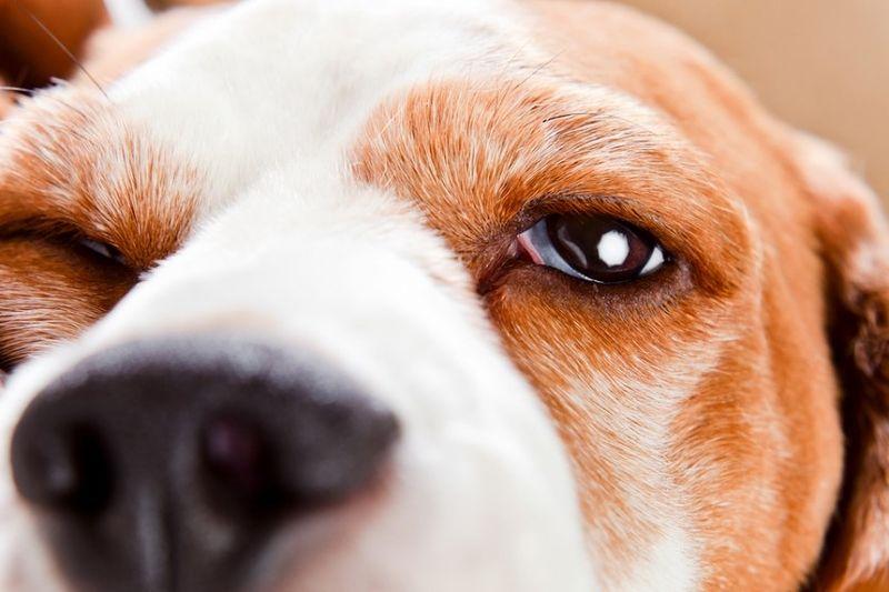 Growth On Dog S Eyelid Dog Eyes Types Of Tumors Eye Infections