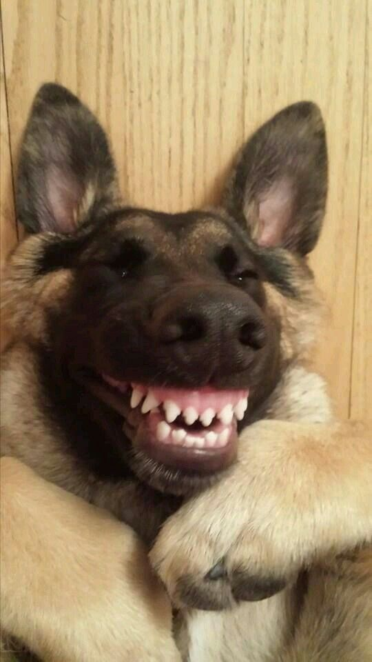 A Very Happy German Shepard Smiling Animals Smiling Dogs Puppies