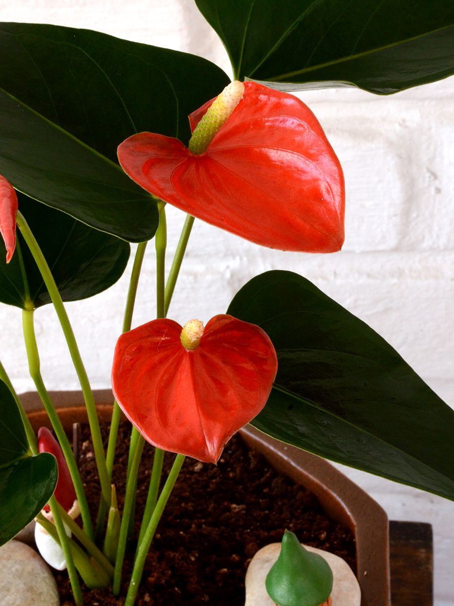 Buy Flamingo Flower Anthurium Orange Www Mudfingers Com Indoor Flowering Plants Anthurium Outdoor Flowering Plants