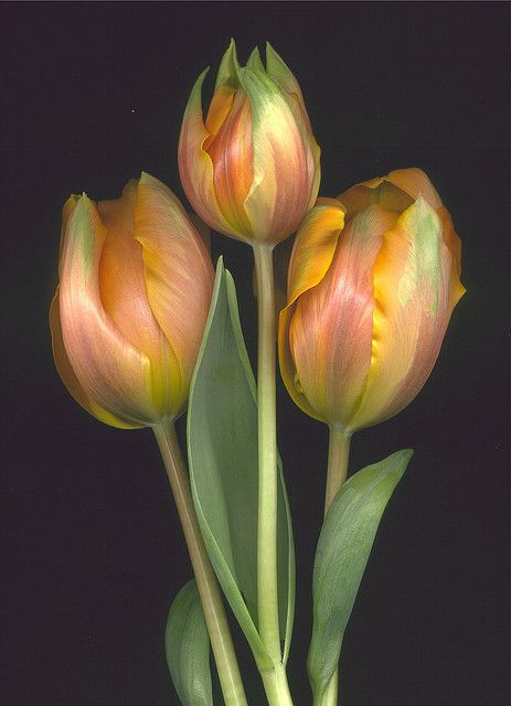 parrot tulips...so beautiful