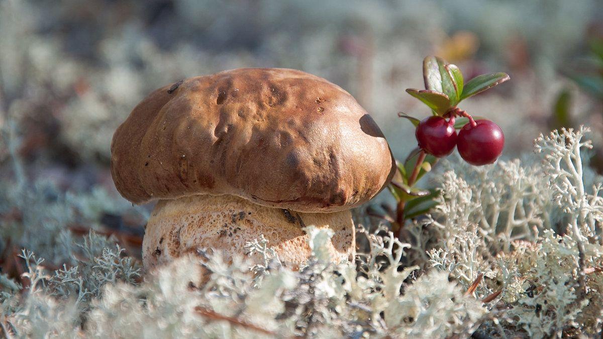 заявила, северные грибы фото тундры и первый взгляд