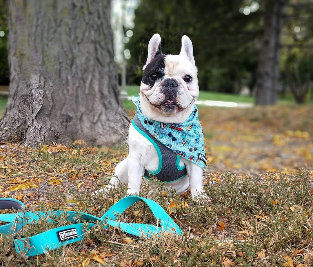 It Might Look Like Fall Out Here But It Doesn T Feel Like It Had To Grab My Cooling Bandana For My Walk Ac French Bulldog Dog French Bulldog Bulldog