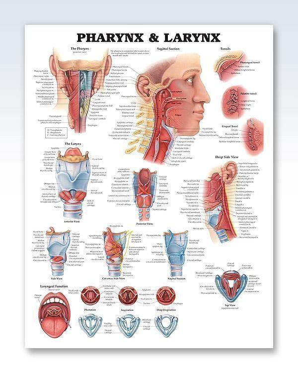Pharynx Larynx Anatomy Poster Clinicalposters Tonsils Tonsils