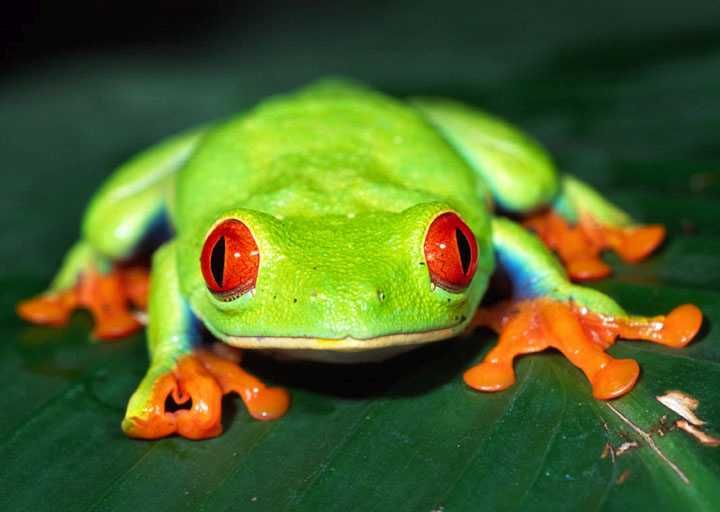 Common Green Tree Frog Common Name Red-Eyed Tree Frogs Green - fresh coloring pages tree frog