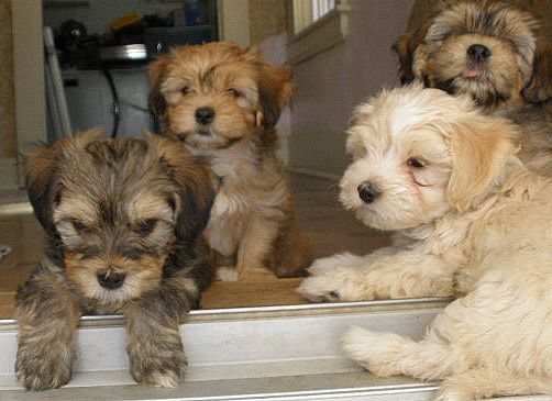 Havanese Puppies Puppies Dogs Cute Dogs