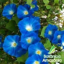 Resultado De Imagem Para Ipomeia Azul Trepadeiras Cerca Viva Trepadeira