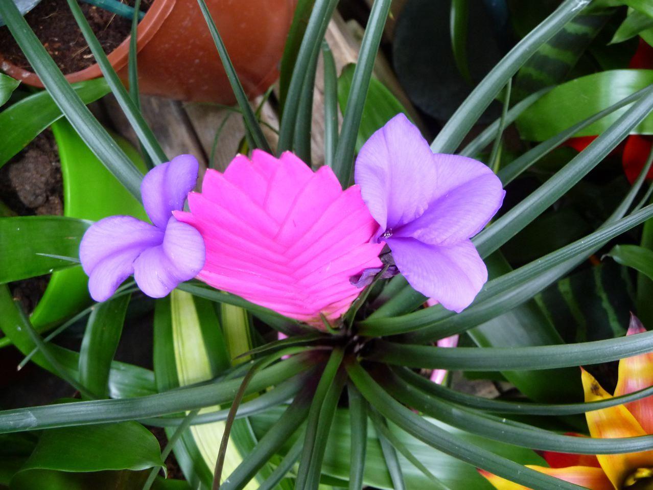 Tillandsia Cyanea Garden Of Love Garden Tropical