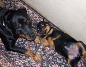 In Missouri Rottweiler Puppies For Sale Rottweiler Puppies Puppies