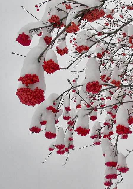 Photo of Heavy Snow Bends Berried Branches