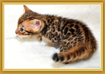Sierra Gold Bengals Is A California Breeder Of Championship Quality Silver Bengal Kittens Brown Bengal Bengal Kitten Bengal Cat Bengal Cat For Sale