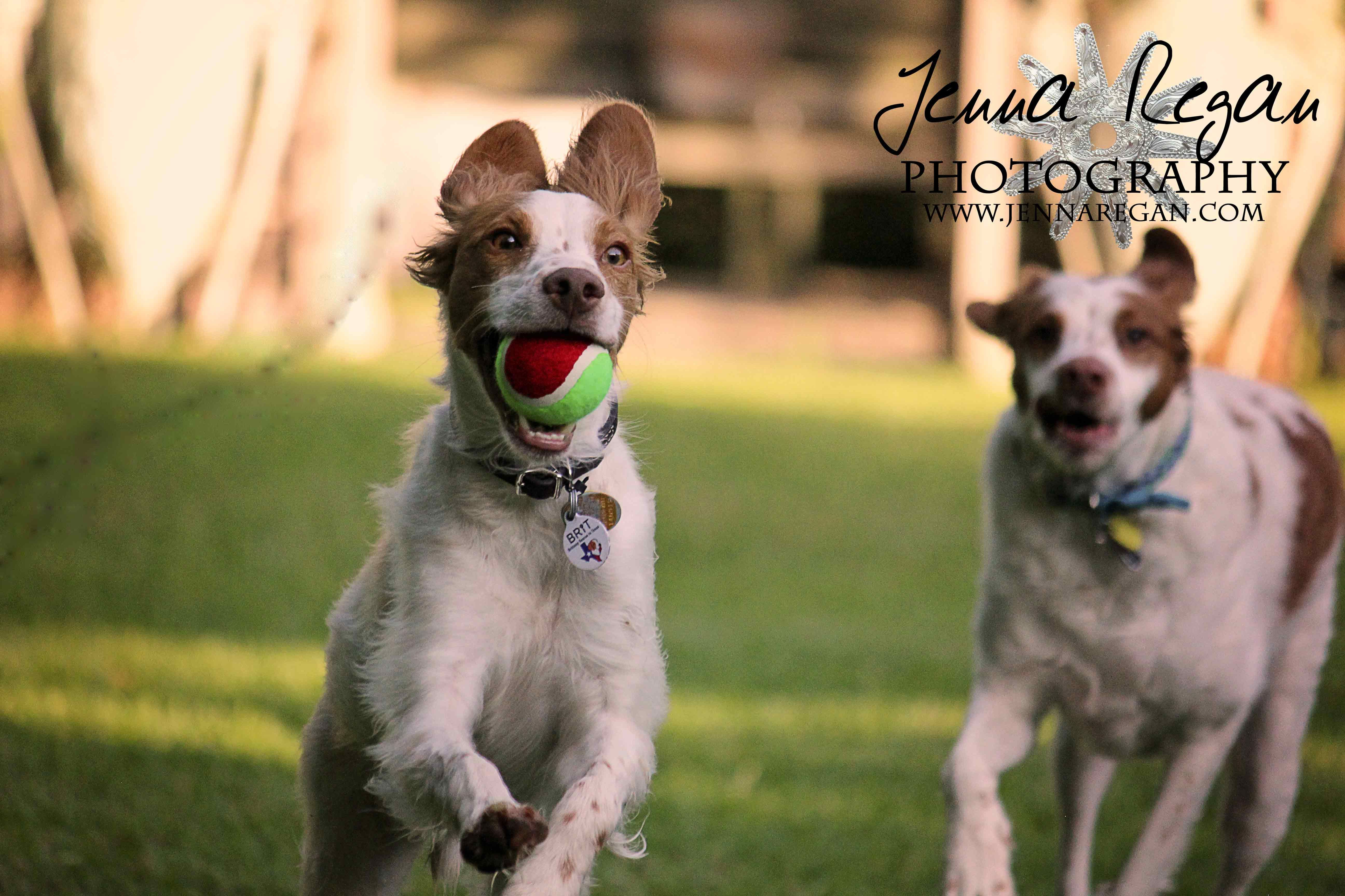 DFW Brittany Spaniel Event Pet Photography Brittany dog