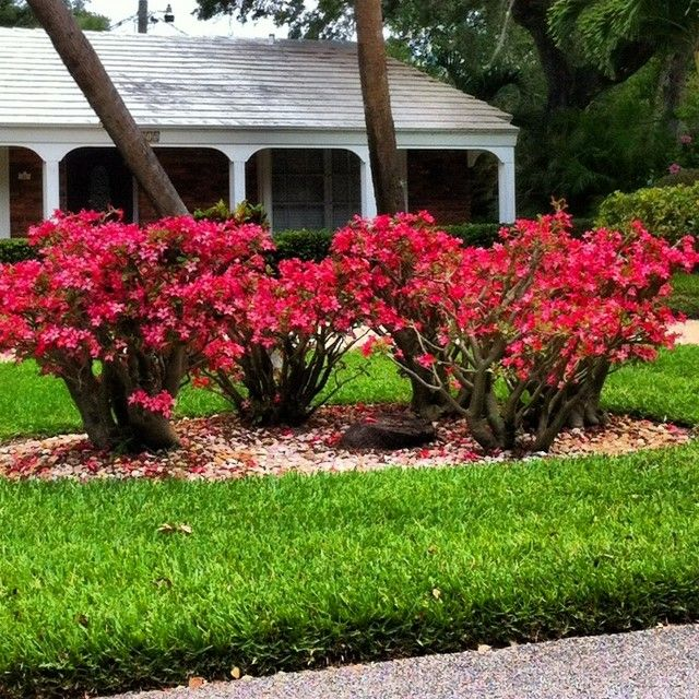12 Amazing Ideas For Flower Beds Around Trees: Adeniums Used In Landscaping