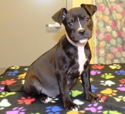 Delightful Veronica Is An Adoptable Dog Pit Bull Terrier Mix