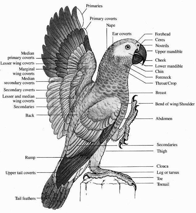 Parakeet Anatomy Diagram - Online Schematic Diagram •