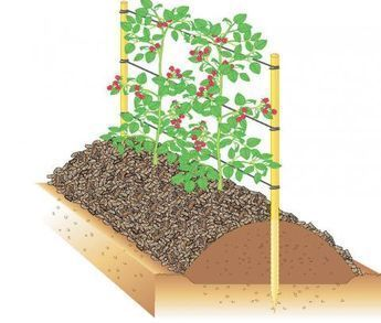 10 tips about raspberries  Damm planting