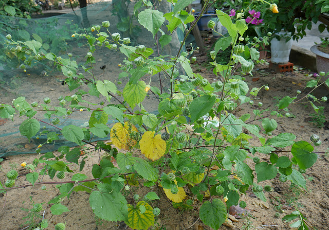 Atibala Benefits Medicinal Plants Plants Mallow Plant