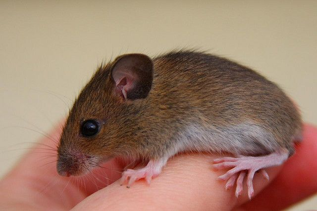 Pictures of pregnant mice 4