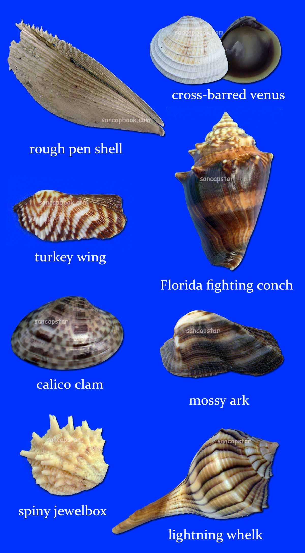Sancapstar Shell Guide Shells, Sea shells