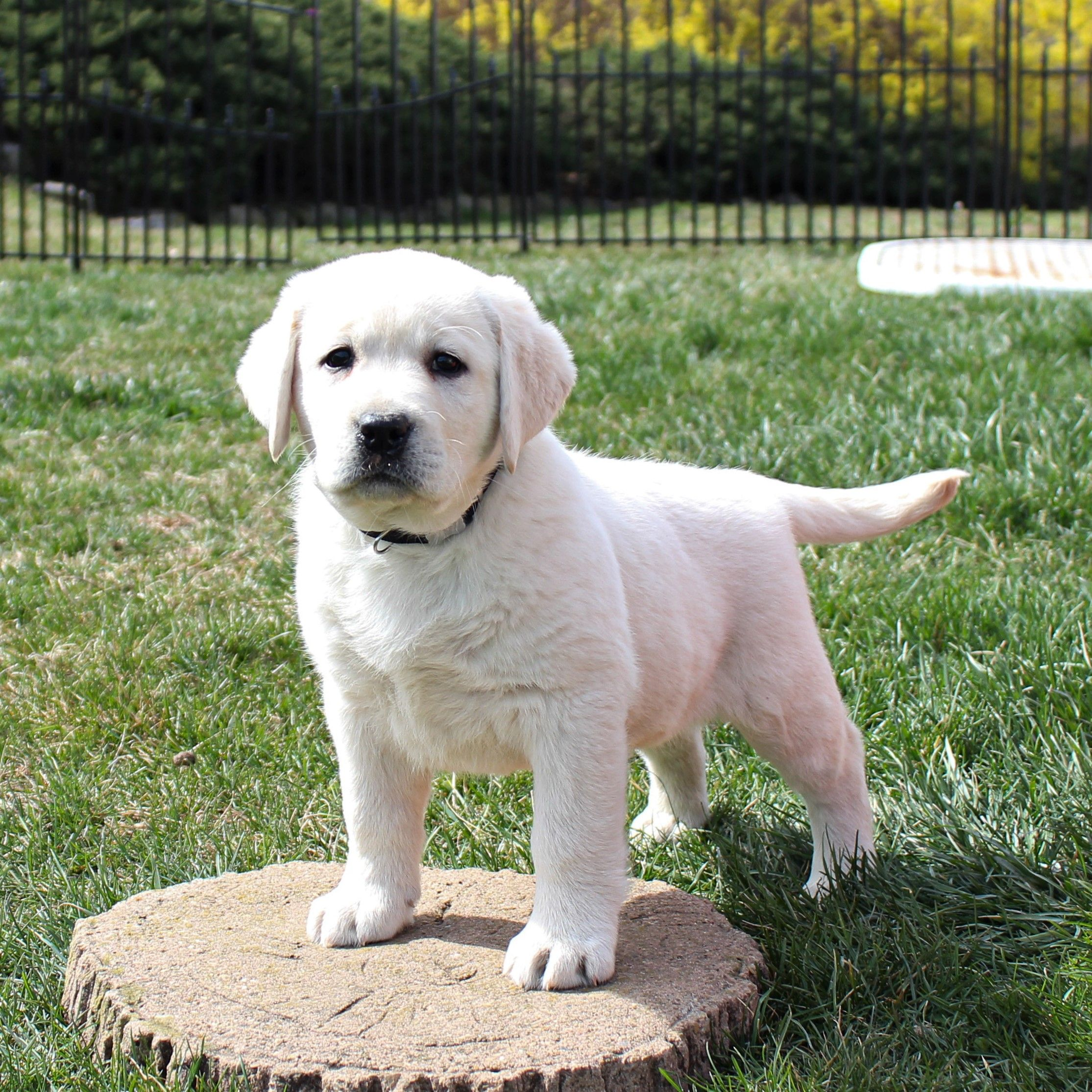 Labrador Retriever Puppies For Sale In 2020 Labrador Retriever Puppies Puppies Labrador Retriever