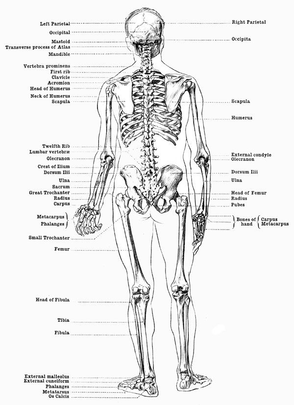 Labeled Skeleton Back View Of Male Skeleton Male Skeleton Anatomy Human Anatomy