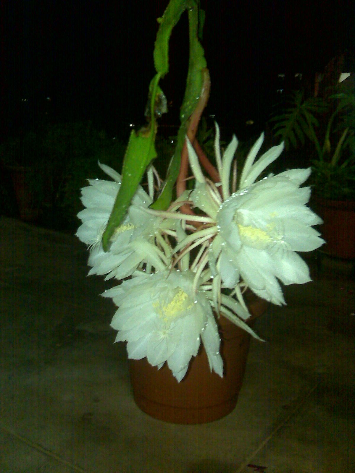 The Flower That Blooms Once A Year At Mid Night With Awesome Smell