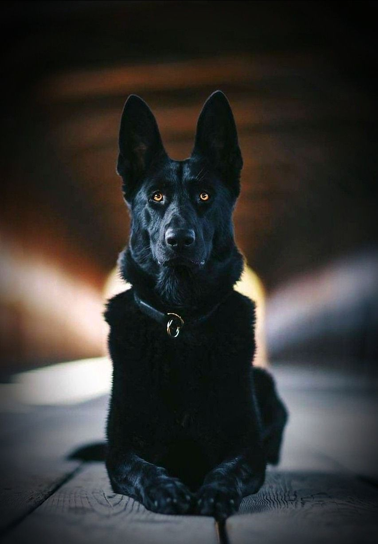 Oh Those Beautiful Eyes Black German Shepherd Dog Black