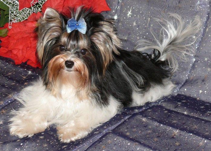 Biewer Yorkie Terrier Puppy Dog Biewer yorkie
