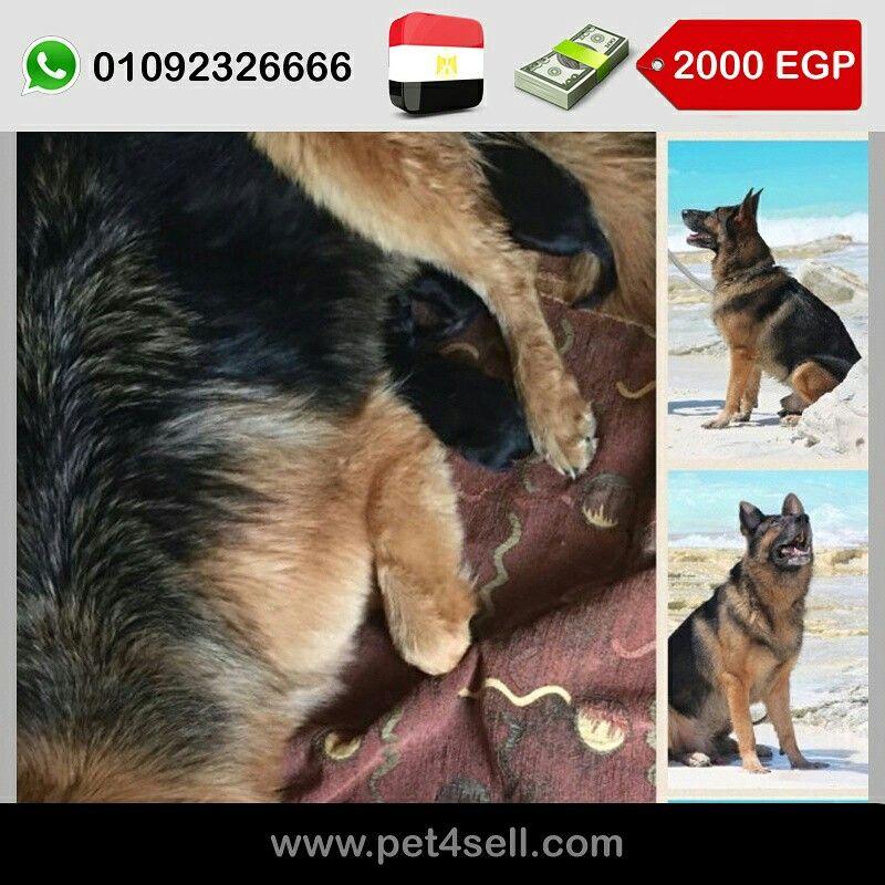 Egypt Cairo Female German Shepherd Puppy 45 Days Old Pet4sell