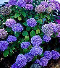 The Essential Guide To Growing Hydrangeas Plants Nikko Blue Hydrangea Hydrangea Seeds