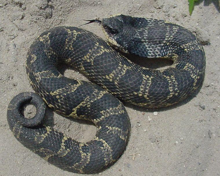 Heterodon Platirhinos Hognose Snake Amphibians Snake