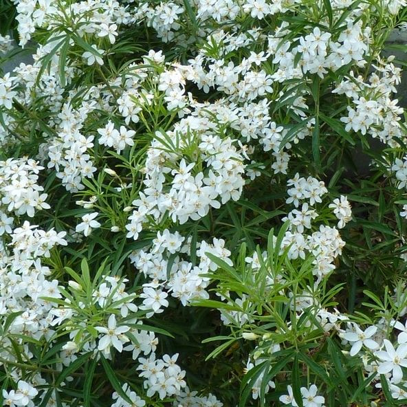 Choisya Aztec Pearl Hardy Evergreen Shrub With Nice Smelly White