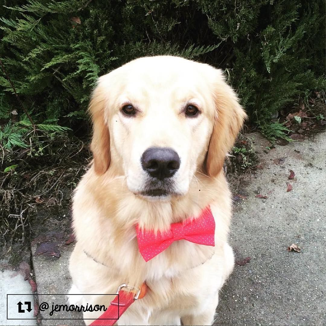 Finn The Golden Retriever From Kelowna Bc Canada
