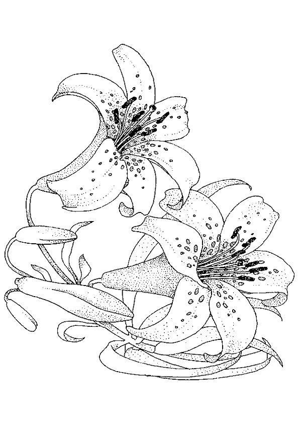 Tiger Lily Coloring Pages Flower Drawing Lilies Drawing Flower Sketches