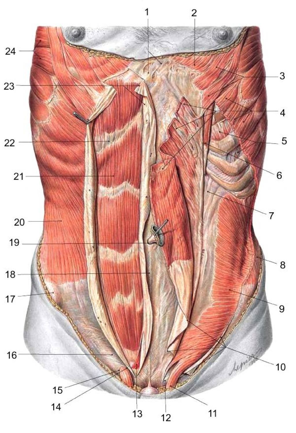 Abdominal Muscles Anatomy | Ways to A Healthy BODY | Pinterest ...