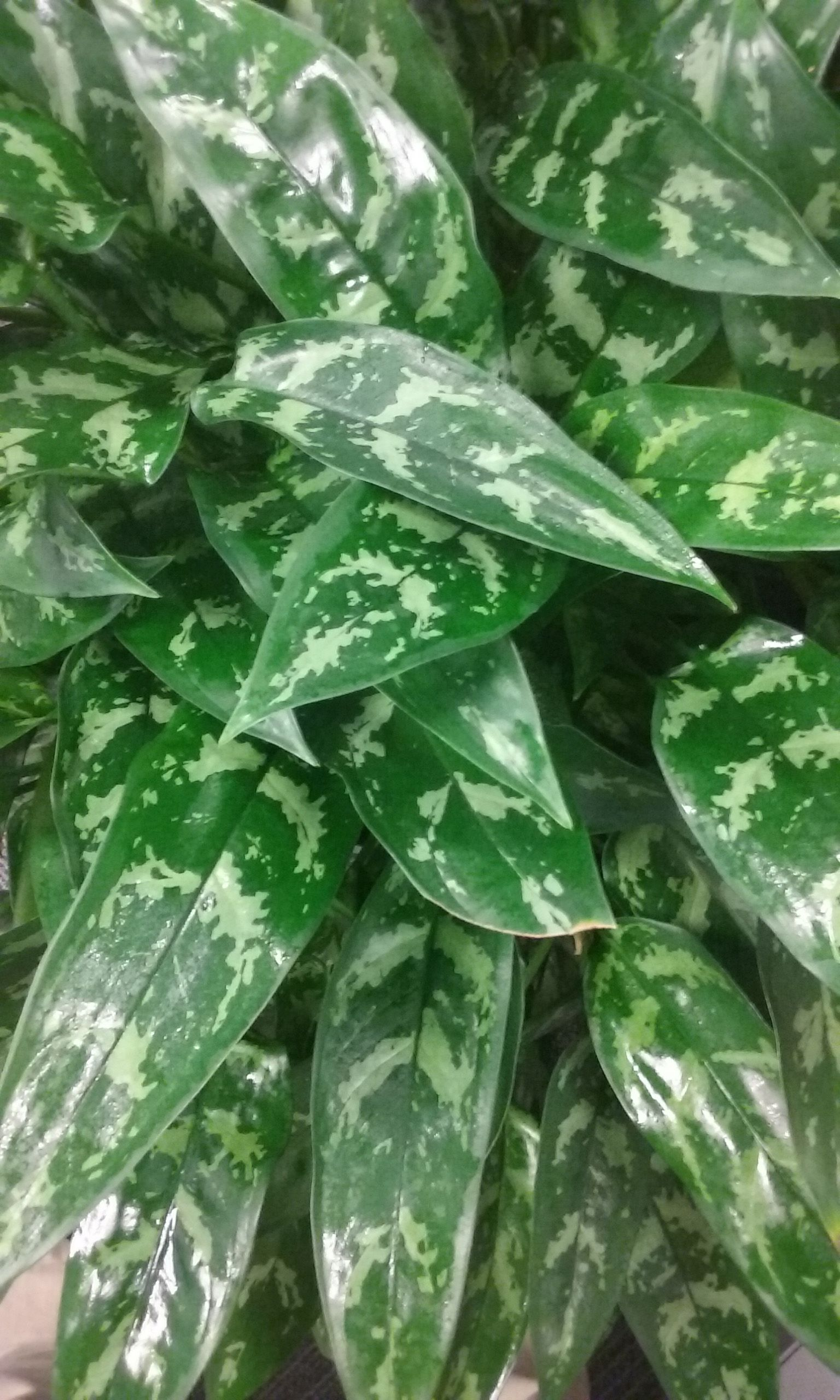 This in the Aglaonema