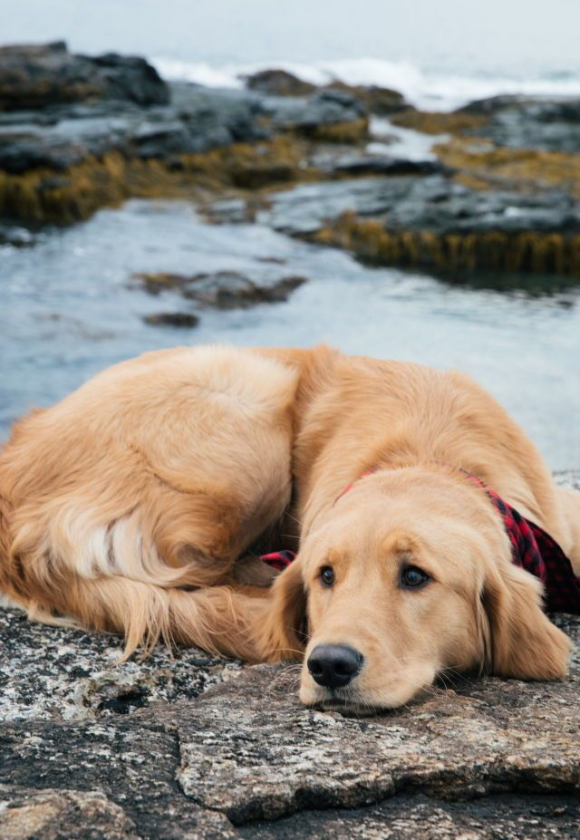 A Beautiful Golden Jus Chillin Dogs Retriever Puppy Dogs