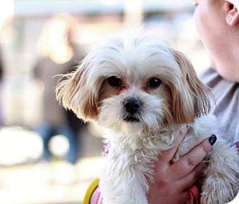 Shih Tzu Maltese Mix Dog For Adoption In Morganville New Jersey Ellie Dog Adoption Kitten Adoption Pets