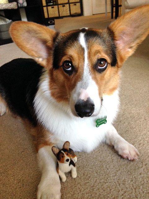 Pembroke Welsh Corgi Alert And Affectionate Corgi Corgi Dog