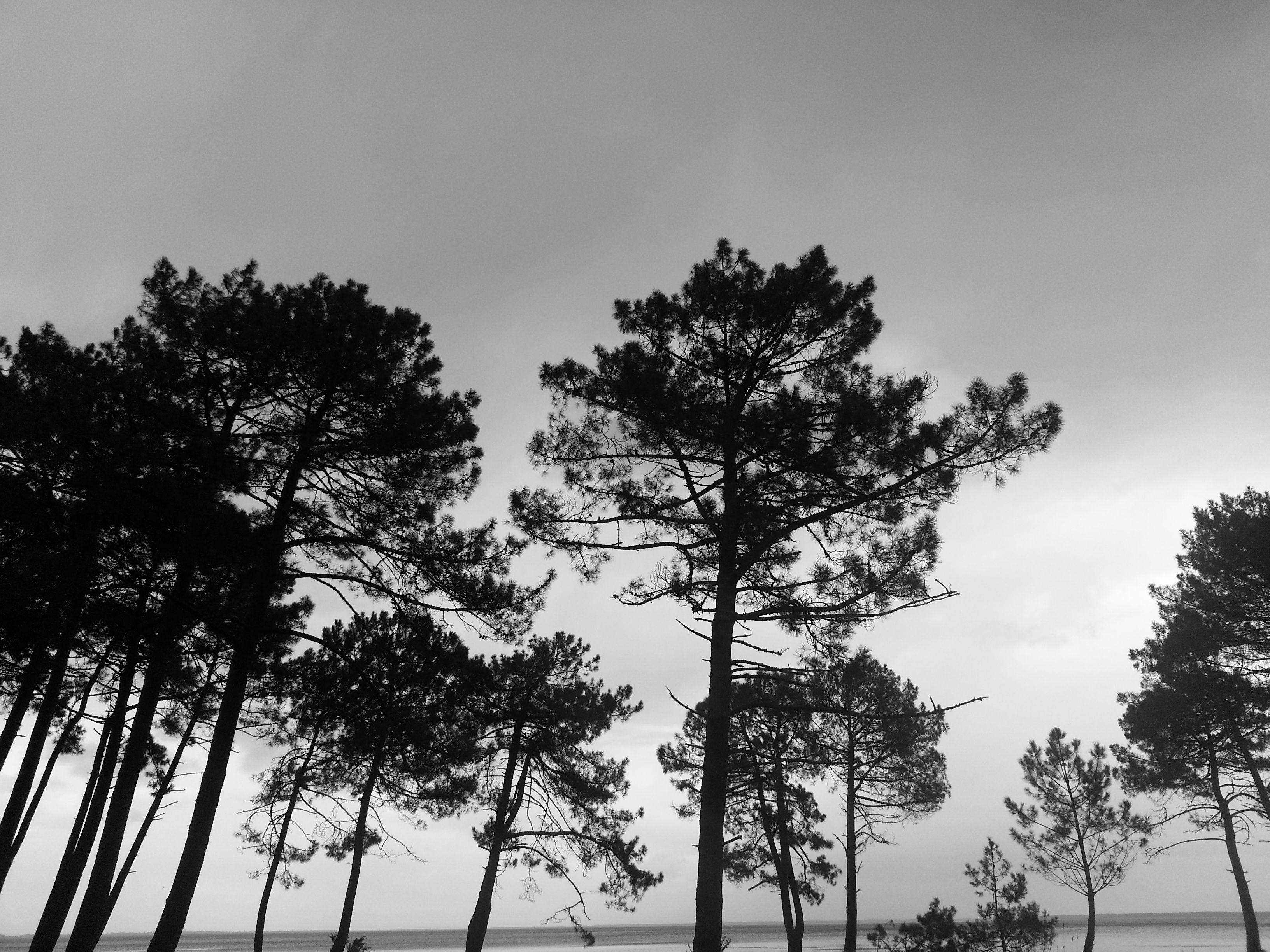 pins en noir et blanc landes pins for t nature pinetrees blackandwhite la nature dans. Black Bedroom Furniture Sets. Home Design Ideas